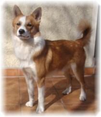 Hund Aki