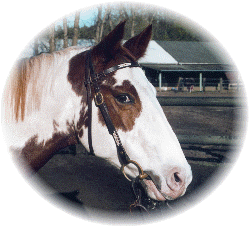 Pferd Lacey